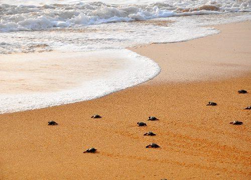 سواحل دیدنی سریلانکا با انواع لاک پشت ها